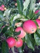 tassie apples 2